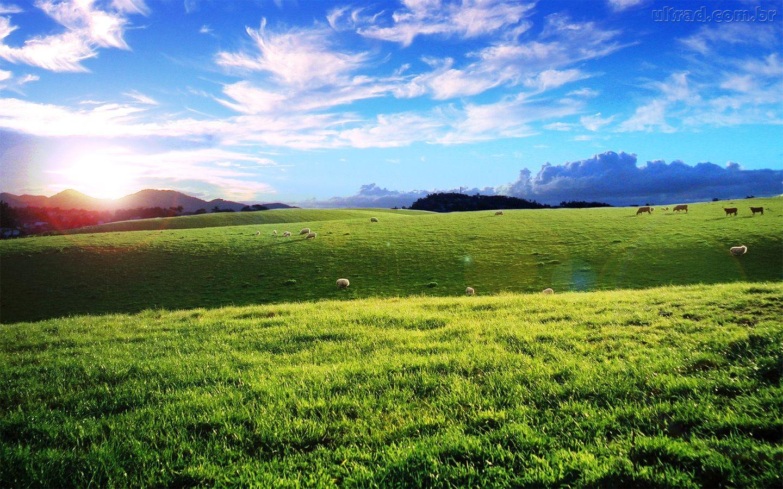 Planícies Gramadas 64680_papel-de-parede-ovelhas-em-campo_1440x900